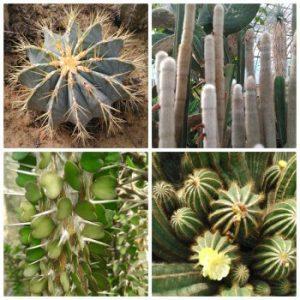 des Cactus et Succulentes